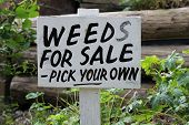 Sign, weeds for sale - pick your own , in a garden, humor used in a gardening joke poster