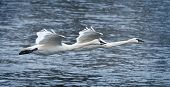 Pair of Trumpeter Swans (Cygnus buccinator) Fly Over River poster