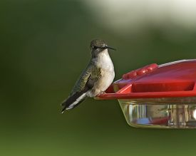 Black-chinned Hummingbird sitting on feeder early morning in Central Iowa.