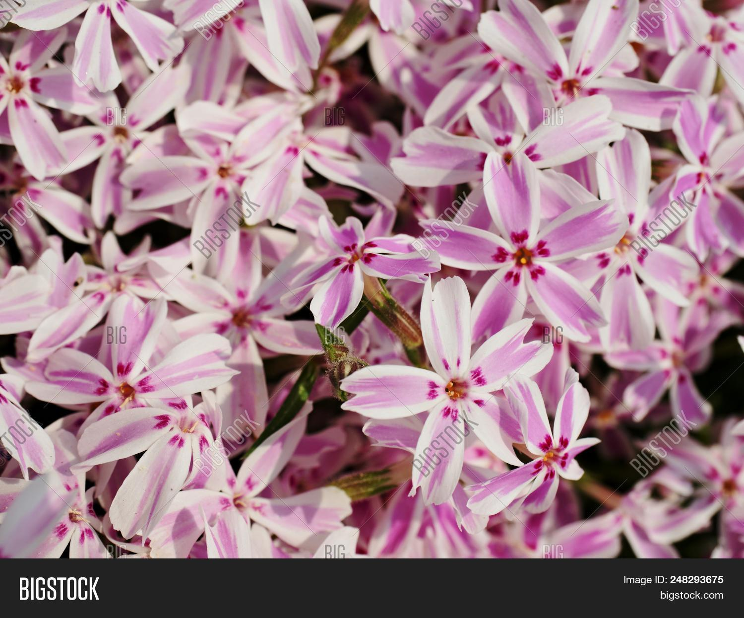 Alpine Flower Bed Pink Image Photo Free Trial Bigstock