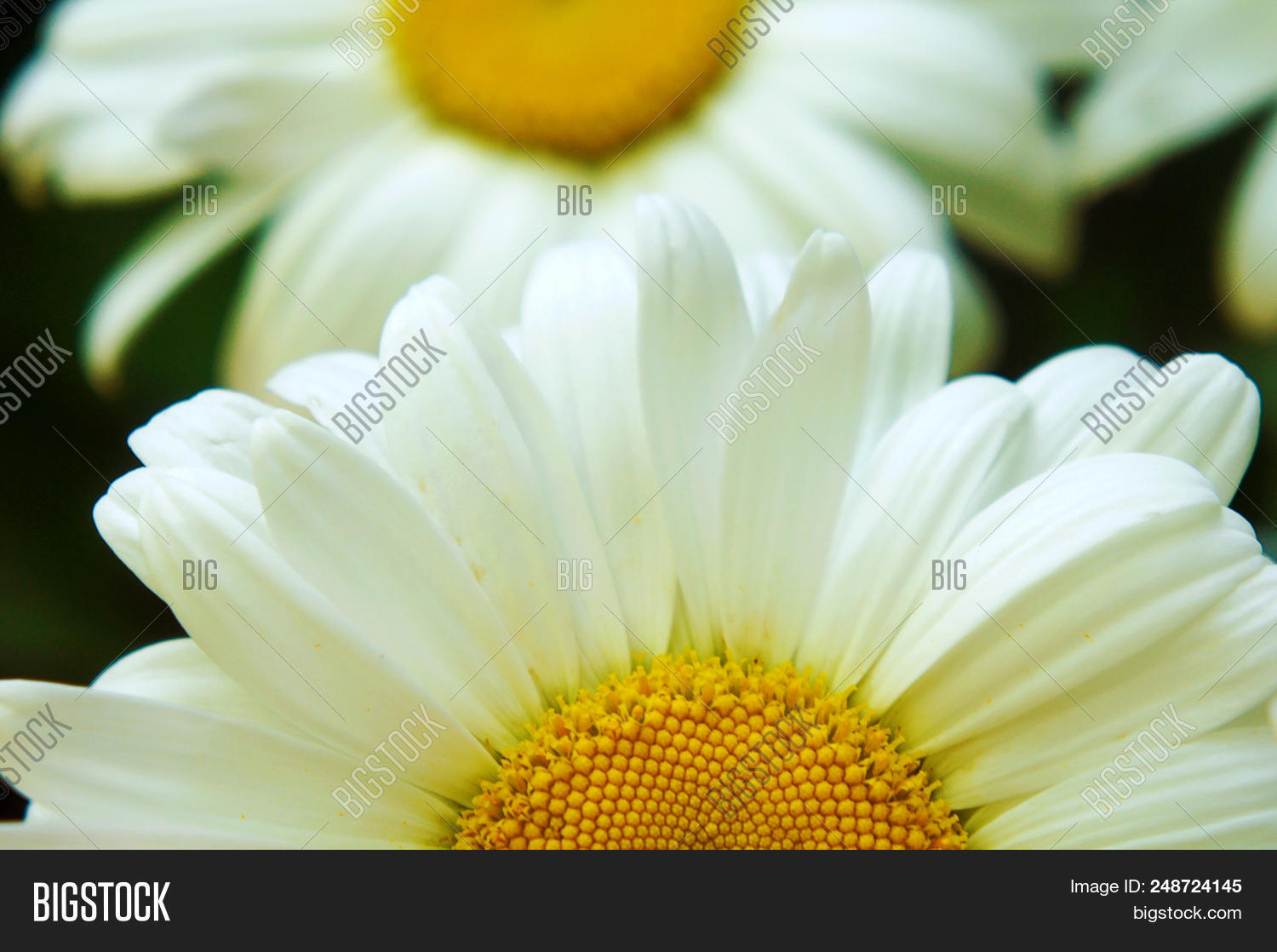 White Big Daisy Flower Image Photo Free Trial Bigstock