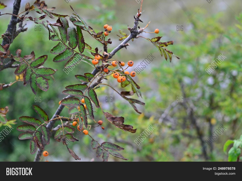 Hawthorn Tree Orange Image Photo Free Trial Bigstock