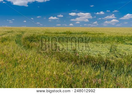 Field With Unripe Wheat Tumbled Down By Rain And Wind At Summer Season