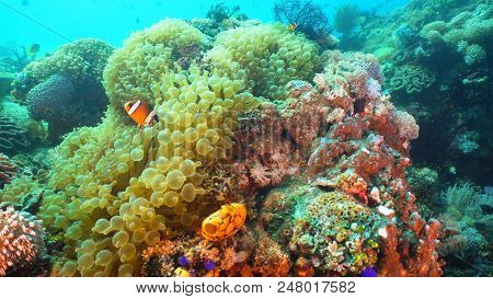 Clown Anemonefish In Actinia On Coral Reef. Amphiprion Percula. Mindoro. Underwater Coral Garden Wit