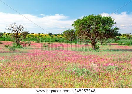 Blooming Kalahari Desert South Africa Wilderness