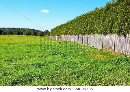 Thuja Wall In Field