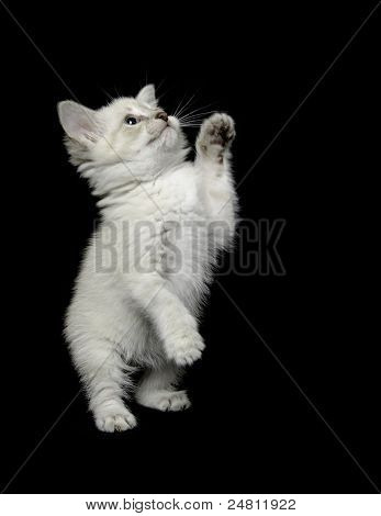 Cute White Kitten On Black