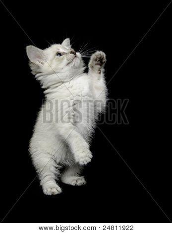Lindo gatito blanco sobre negro