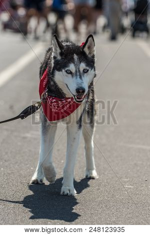 Siberian Huskey Puppy Wearing Red Bandana While Walking Down City Street.