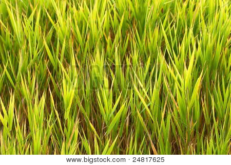 Frame-filling Swamp Grass