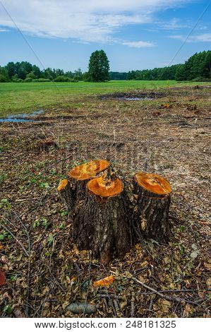 Stumps Of Valuable Alder Trees Deforestation Against A Background Of Meadow And Deciduous Forest. Cu