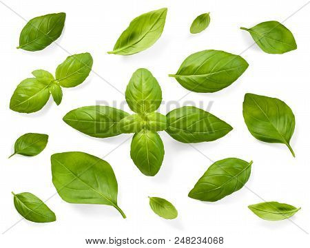 Fresh Basil Leaves, Isolated On White Background. Top View Or High Angle Shot Of Various Basil Leave