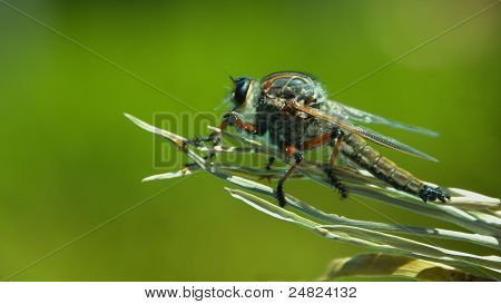 Robber Fly - ready for take off