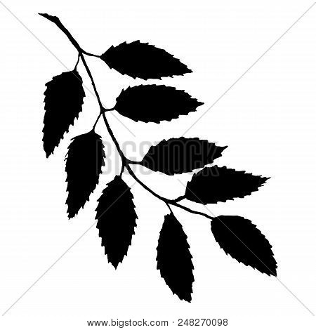 Monochrome Black Rowan Rowanberry Ashberry Berry Leaf Branch Bunch Silhouette Botanical Illustration