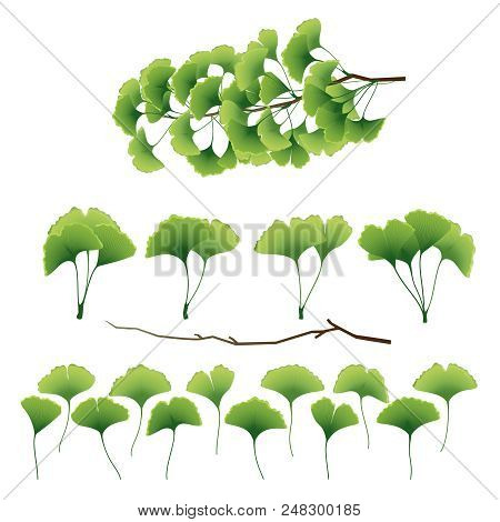 Ginkgo Biloba Leaves And Branch Collection Isolated On White Background. Vector Illustration