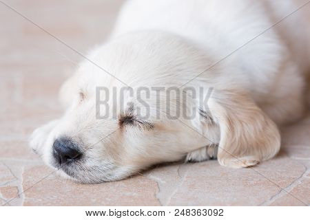 Beautiful White Fur Golden Retriever Puppy Is Sleeping On Floor