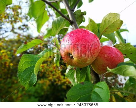 Apple Tree With Ripe Fruits In Autumn With Water Drops