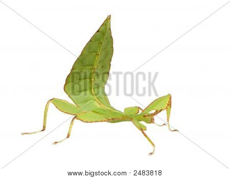 leaf insect Phylliidae - Phyllium sp in front of a white backgroung poster