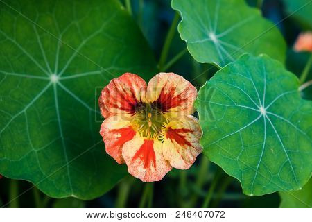 Edible Nasturtium Flower And Leaves Growing - Yellow, Orange, Red Variegated Tropaeolum Blossom In G