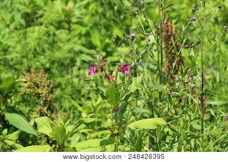 Bordeaux Flower In The Meadow / Green Meadow On A Sunny Day / Wildflowers / Insects In Flowers On A