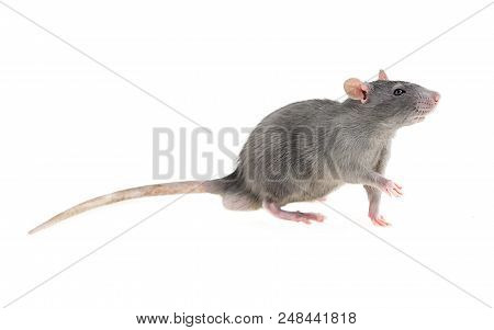 Wonderful Young Timid Wary Light Gray Furry Rat Home Pet On White Isolated Background Looks In Right