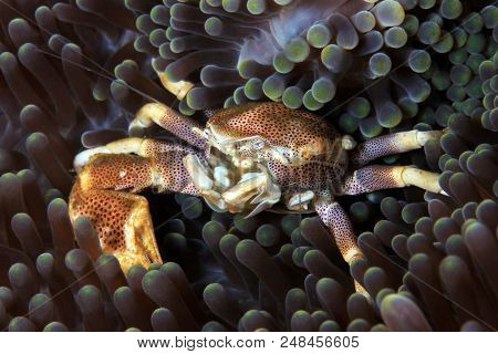 Spotted Porcelain Crab (neopetrolisthes Maculatus) In An Anemone. Anilao, Philippines