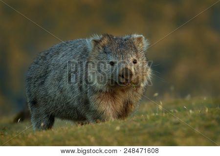 Vombatus Ursinus - Common Wombat In The Tasmanian Scenery, Eating Grass In The Evening.