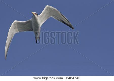 Swift Tern