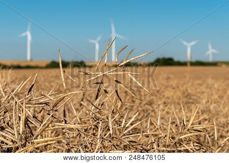 Large View On The Windmills On The Colza Field