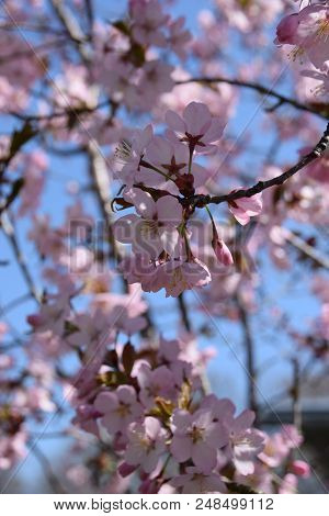 Some Cherry Blossoms In Focus And The Other Cherry Blossoms In Blurry Background, Tender Scene With