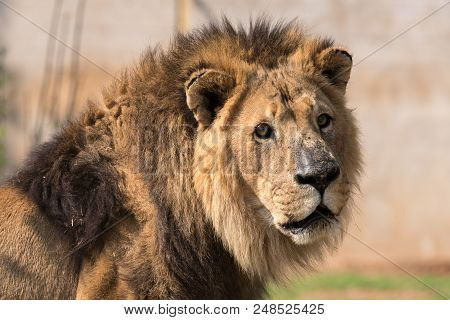 Close-up Of A Male African Lion, Panthera Leo