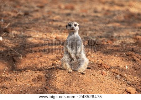 A Female Meerkat Or Suricate, Suricata Suricatta, A Small Mammal Belonging To The Mongoose Family