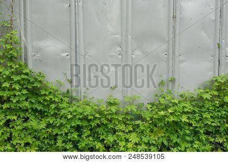 Weeds Climbing The Wall