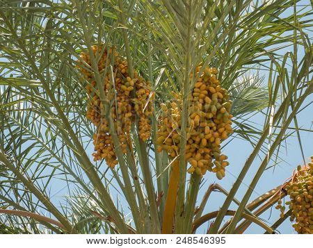 Ripening fruits of date palm, clusters of date fruits, hanging bunches of dates, harvest of date palm fruits poster