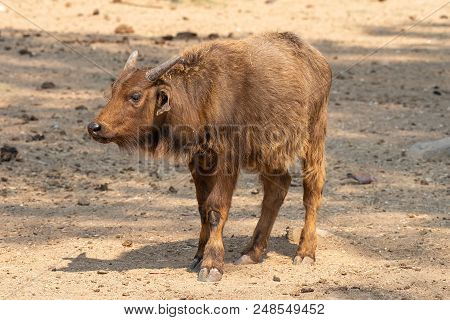 Side View Of A Cape Buffalo Calf, Syncerus Caffer Caffer