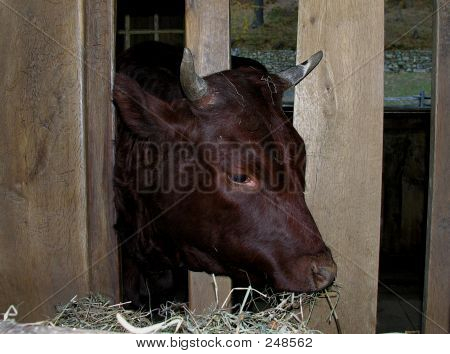 steer at feeding time. poster