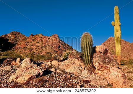 A Species Of Barrel Cactus Growing Out Of An Outcrop Of Rock With A Tall Saguaro Cactus Behind It Ne