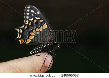 Butterfly On The Hand. Bright Beautiful Butterflies. Swallowtail Butterfly, Papilio Machaon.
