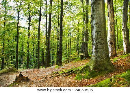 Beechen wood