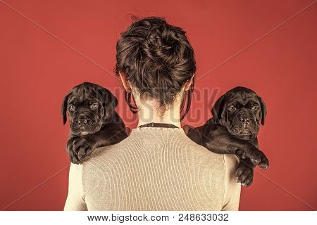 Mastiff Puppies. Cane Corso Puppy At Female Hand. New Year, Cute Puppy At Clock. Girl With Pet At Wi