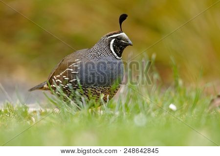 California Quail - Callipepla Californica Male In The Green Grass In New Zealand. This Bird Original