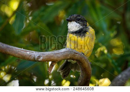 Australian Golden Whistler - Pachycephala Pectoralis Is A Species Of Bird Found In Forest, Woodland,