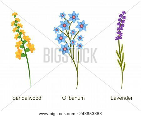 Sandalwood And Olibanum Lavender And Headlines Banner With Pants, Herbs Collection With Flowers Titl