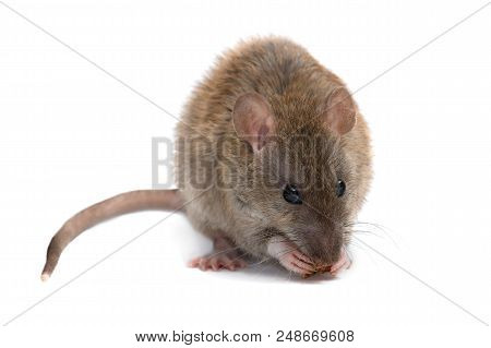 Closeup Young Rat (rattus Norvegicus) Eats  Rusk And Looking A Camera.  Isolated On White Background