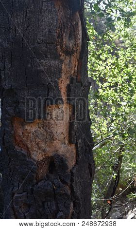 Scorched bark on a tree in Santa Barbara California. poster