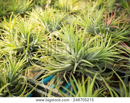 Air Plant Or Tillandsia Growth In Plant Nursery.