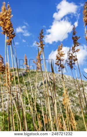 Common Reed Grass In The Foreground, The Karst Chepina Mountain Ridge With Beautiful Blue Sky And Cl