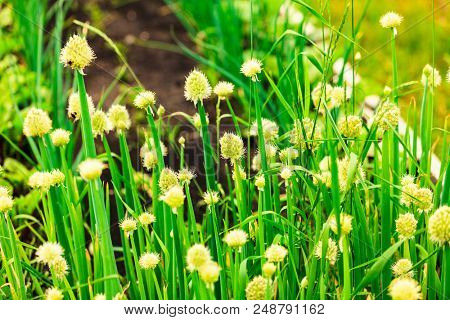 Closeup shot of flowers of green onion on a garden bed