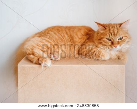 Cute ginger cat lying on carton box. Fluffy pet gazing angrily. poster