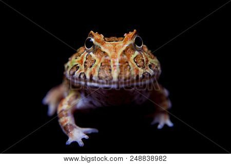 The chachoan horned frog, Ceratophrys cranwelli, isolated on black background poster